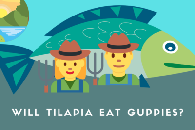 Will Tilapia Eat Guppies?