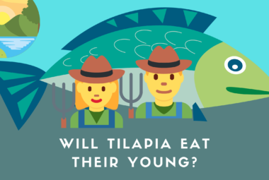 Will Tilapia Eat Their Young?