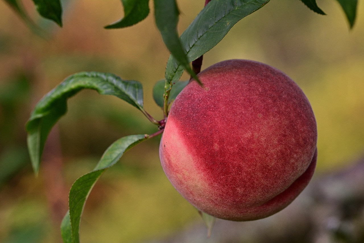 What Kind of Fruit is a Peach?