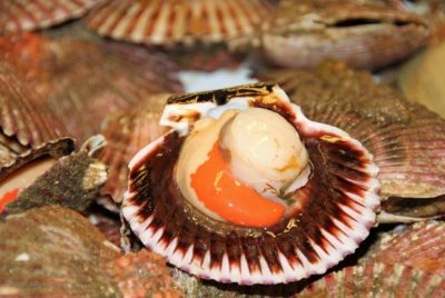 Can You Eat Raw Scallops?