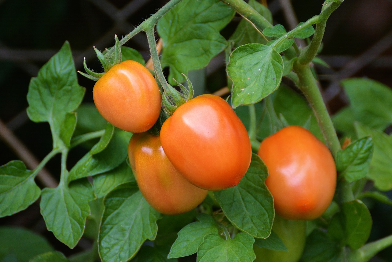How Plum and Roma Tomatoes Came Into Existence