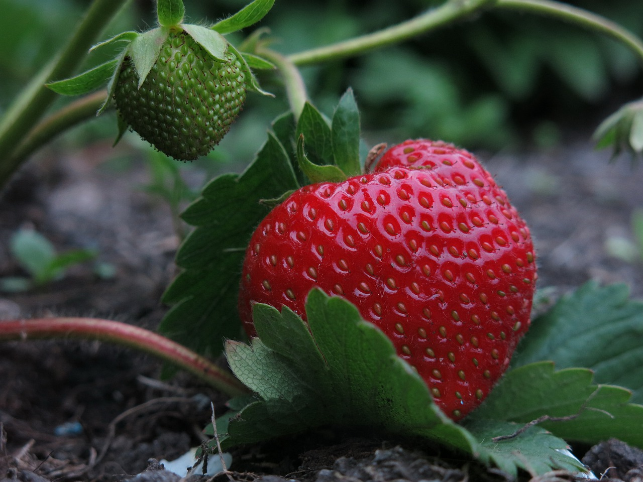 The Etymology of the Word Strawberry Why Are They Called Berries