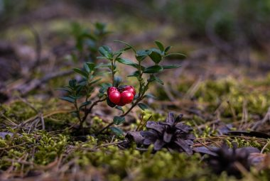 What Is Cranberry Called In Telugu?