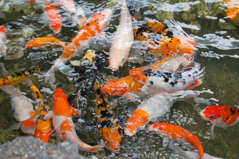 Why Do Koi Jump Out Of Water